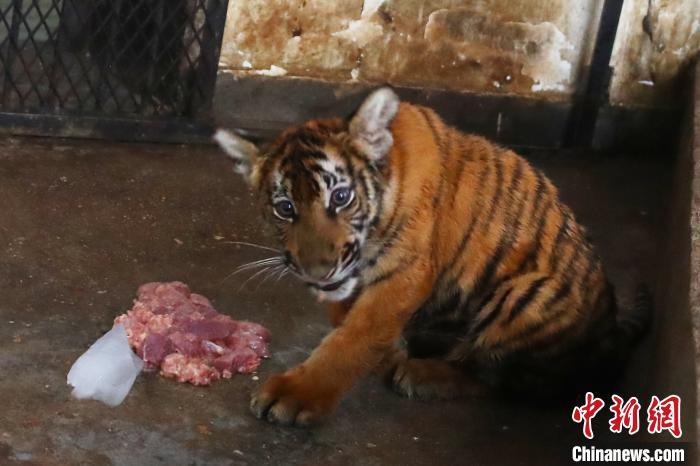 图为5个月大的雌性华南虎幼崽。 刘占昆 摄
