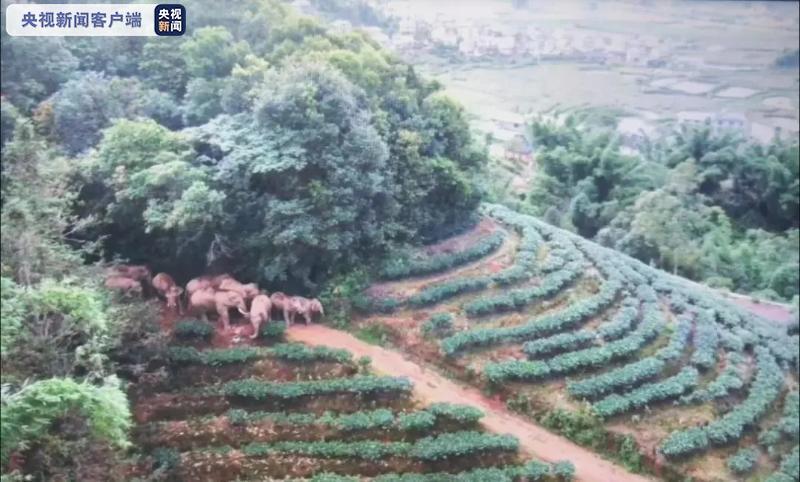 注意防范!16头野生亚洲象北迁进入云南普洱倚象镇
