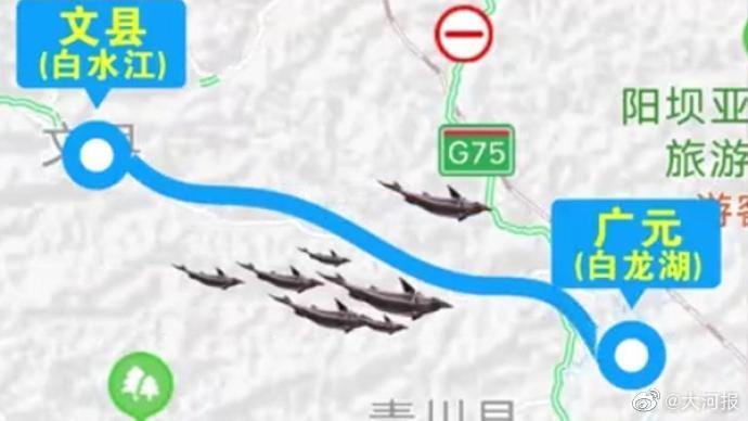 大型鲟鱼因暴雨逃逸至四川,甘肃渔业管理局:企业已组织捕捞