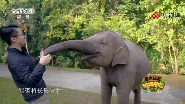 亚洲象可以用鼻子卷起黄豆吗?今天18点档,《动物来啦》为你揭秘