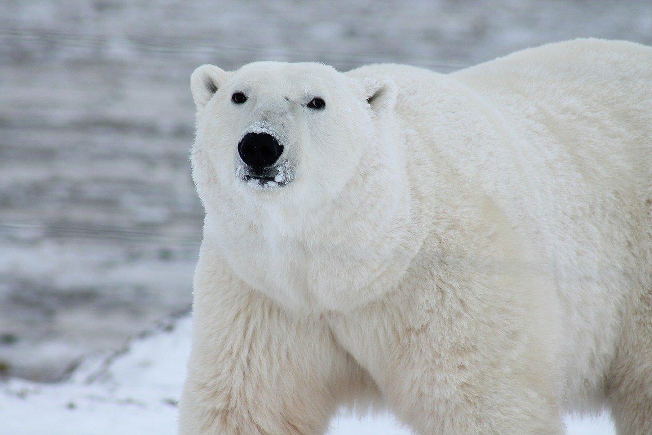 禁食时长影响北极熊存活率