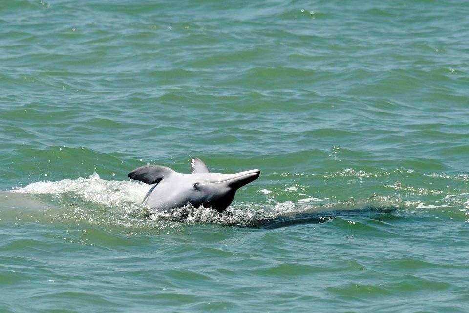 泰国湾海域发现短吻海豚和中华白海豚稀有物