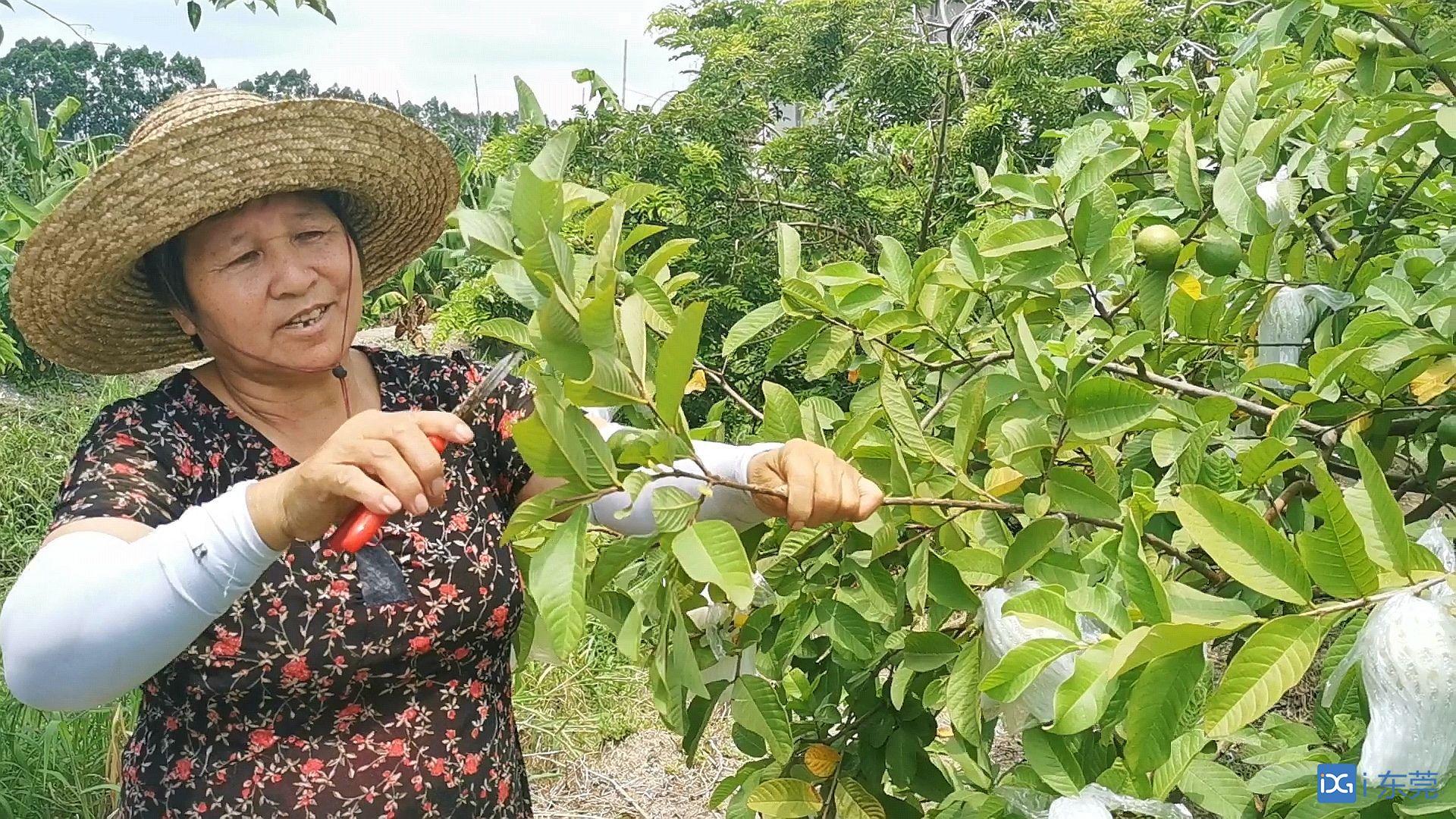 走向我们的小康生活|新型职业农民:从蕉农向新型职业农民转变 一手打造现实版开心农场
