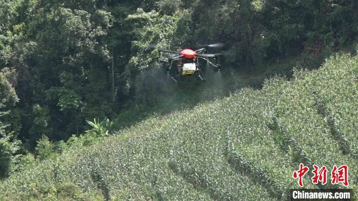图为云南普洱市江城县动用植保无人机对黄脊竹蝗举行消杀。刀志楠 摄