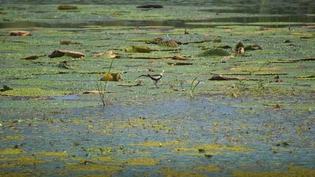 水凤凰首次入驻扬州北湖湿地公园 喜诞4只小宝宝
