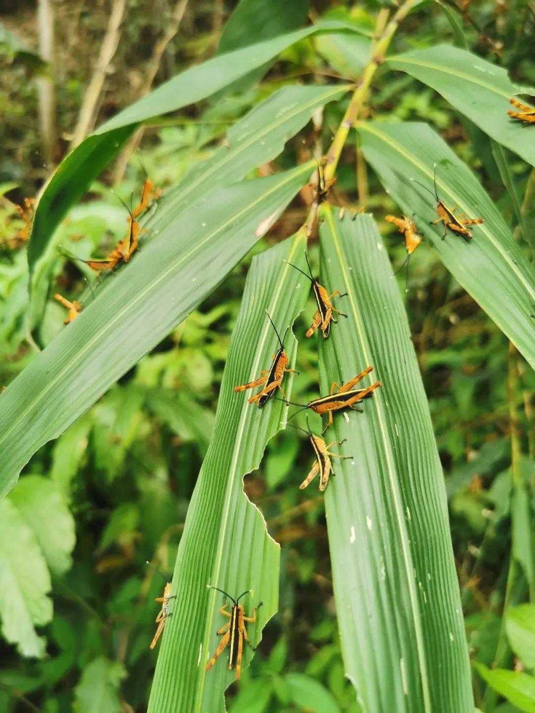 摩臣2官网代理,有效控制竹蝗成虫迁入图片