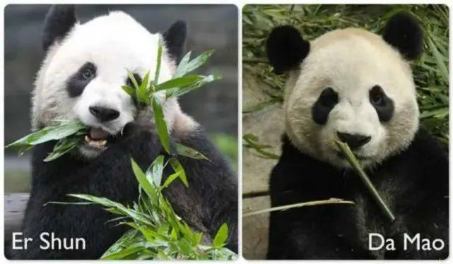 我们在加拿大的熊猫要断粮了!