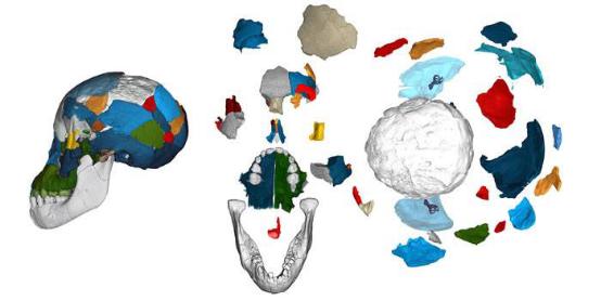 科学家发现300万年前的阿法南方古猿具有与类人猿相似的大脑