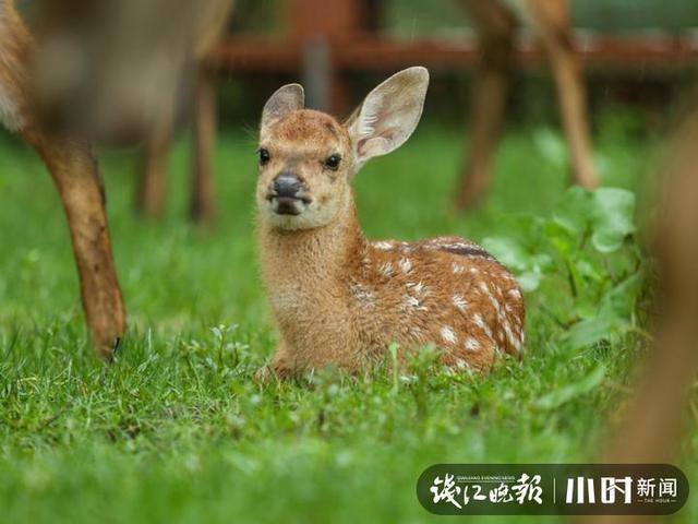 这个夏天,良渚古城遗址公园迎来4只呆萌鹿宝宝,网友还给它们起了名字