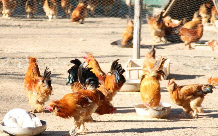 太阳2:鸭之后太阳2北京油鸡获国家农产品地理标志图片