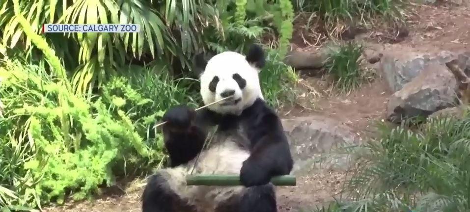 """卡尔加里动物园内的大熊猫""""大毛"""" 视频截图"""