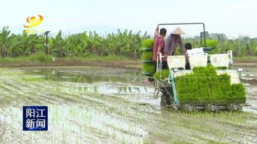 阳江市超级杂交水稻推广面积逾30万亩