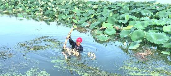 淮安市淮安区漕运镇发展荷藕等水生作物种植