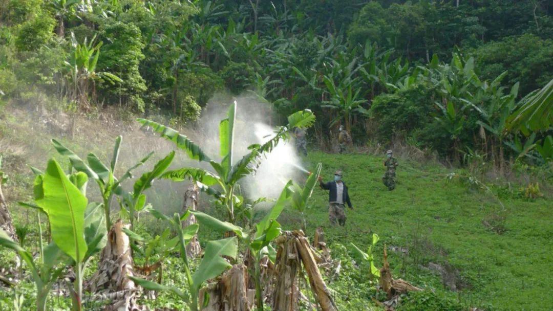 【关注】计划9月底前有效控制竹蝗成虫迁入!云南出台黄脊竹蝗防控技术方案