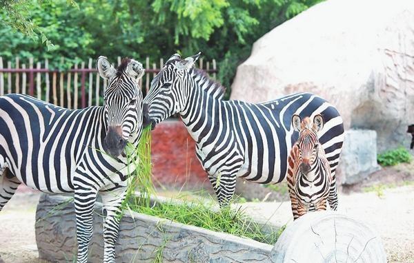 齐齐哈尔市龙沙动植物园喜添小斑马