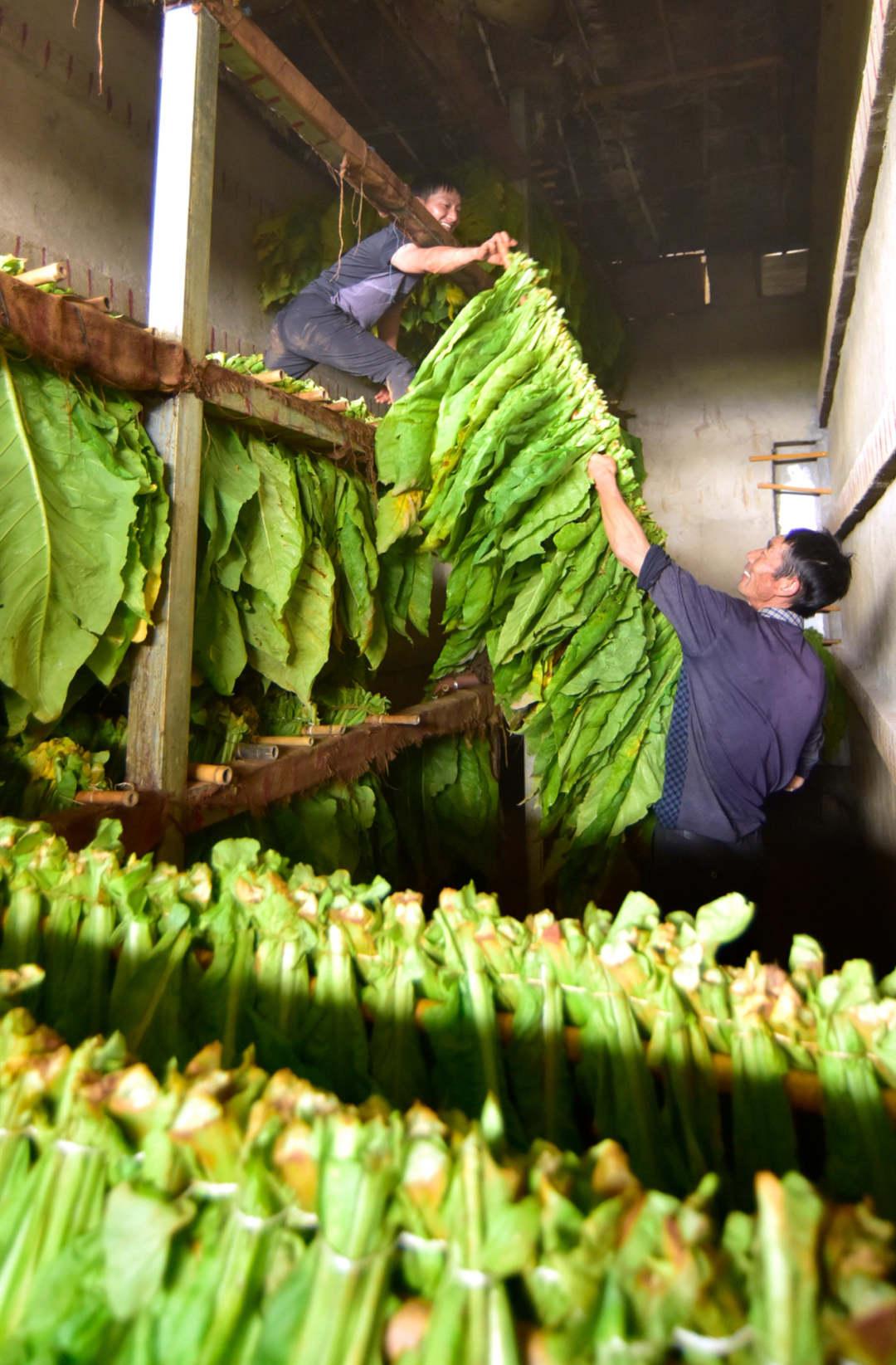 云南弥勒:烟叶飘香 烟农迈向小康路