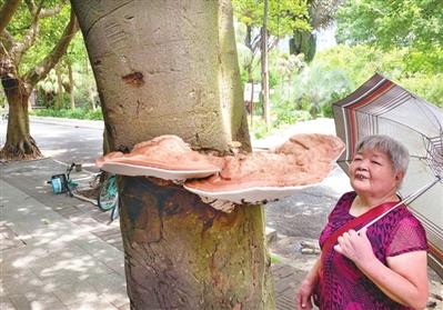 鼓楼行道树竟然长灵芝?专家鉴定是树舌,和灵芝是近亲