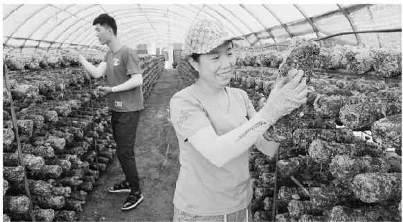 食用菌合作社 带动农民脱贫致富
