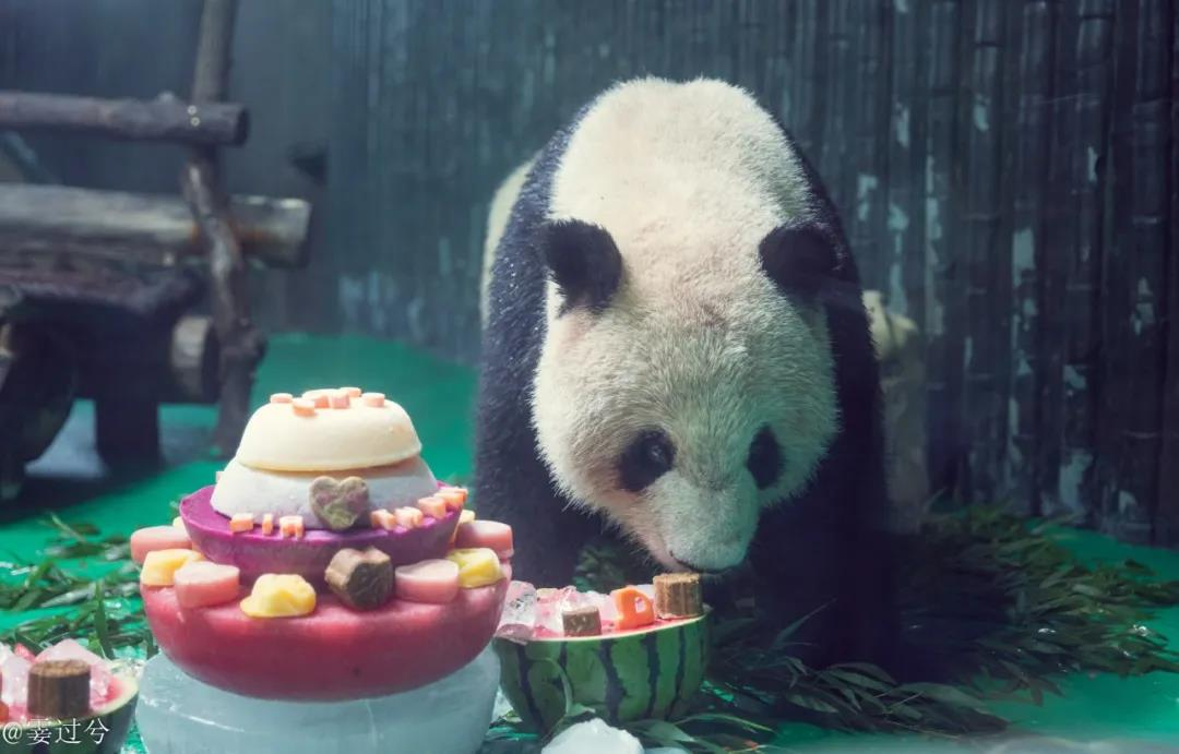 大熊猫和风4周岁生日,奶爸奶妈送惊喜!盘点上海动物园花式生日趴,个个都是表情包