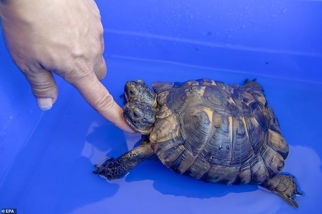 """世界最年长双头龟迎来23岁!日内瓦自然历史博物馆""""镇馆之宝"""""""