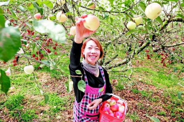 长顺县:高钙苹果香 游客采摘忙