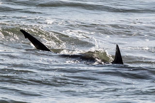 惊恐!澳冲浪者被鲨鱼咬伤腿当场死亡