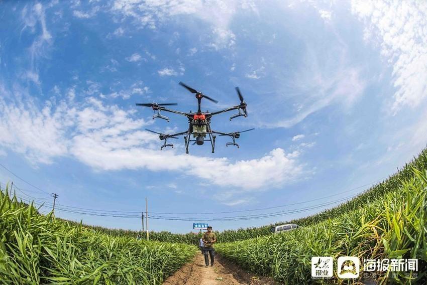 山东潍坊:无人机植保作业助丰收