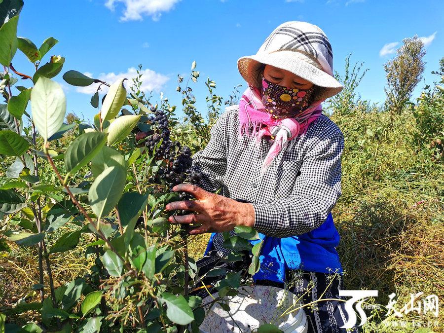 裕民县:采摘花楸是时候了