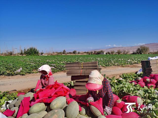 发往全国的甜蜜:吐鲁番市鄯善县近9万吨哈密瓜丰收啦!