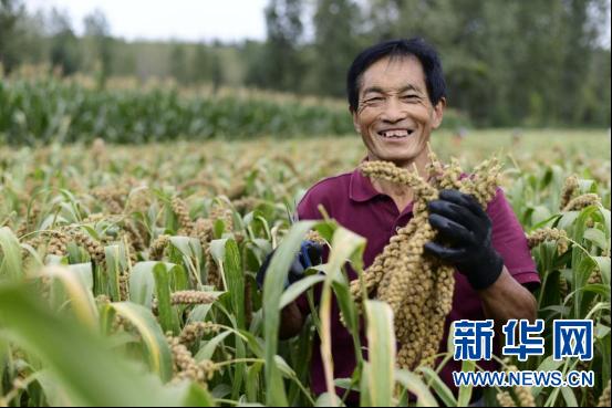 河南义马:小米收获助推农村振兴