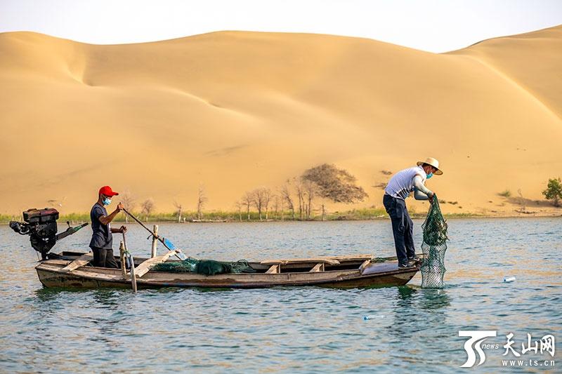 塔里木河治理释放生态红利 尉犁沙漠中养出大螃蟹