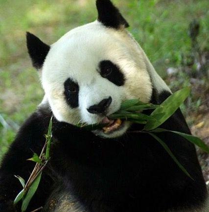 """高龄大熊猫""""雷雷""""去世:再道一声""""你好吗""""图片"""