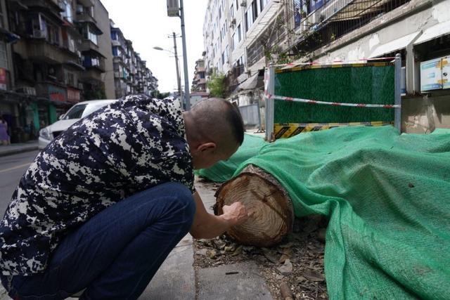 成都桂花巷桂花树被砍 12人履职不力被处分