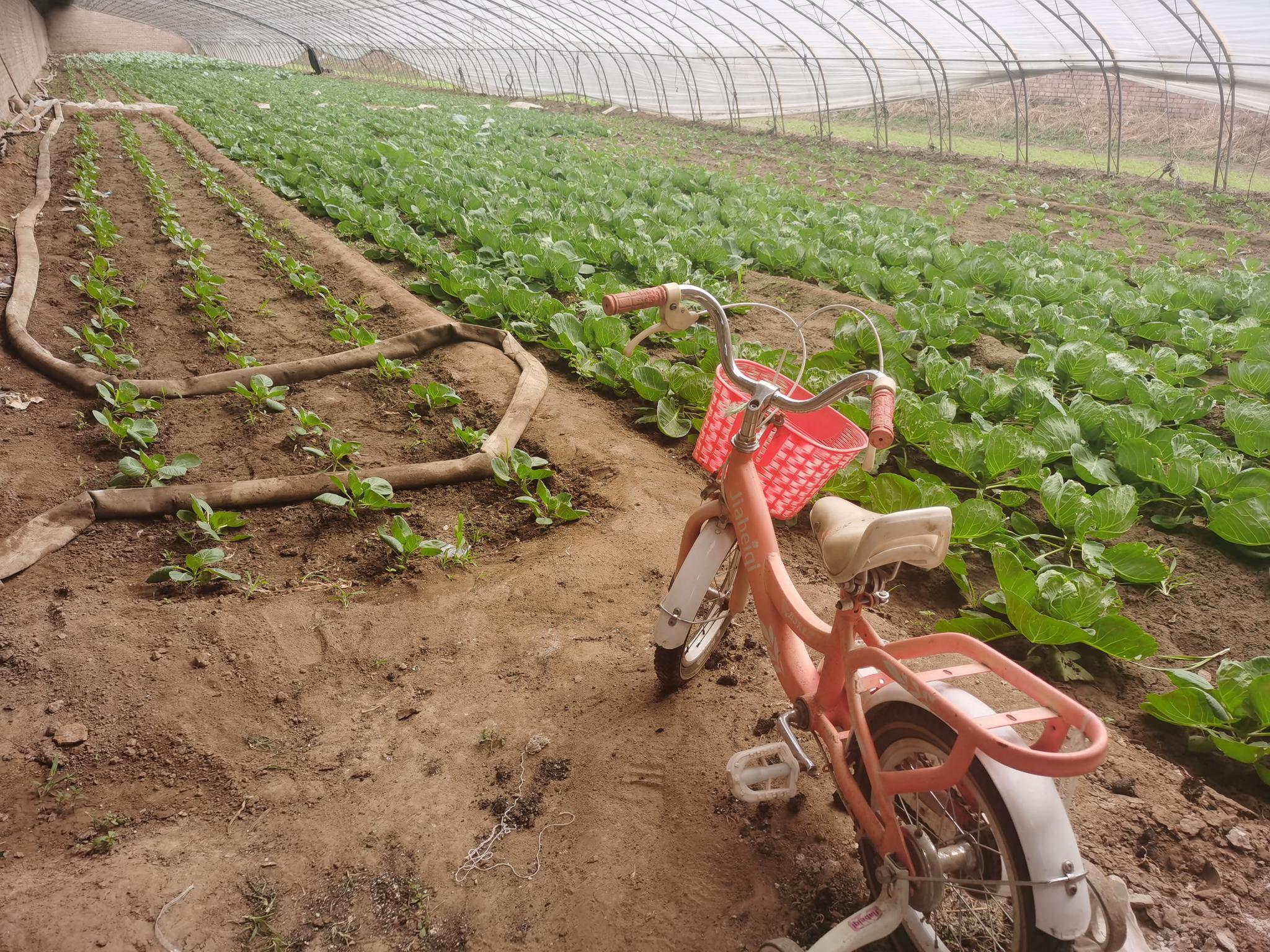 京郊草莓开始移栽 12月份即可成熟图片