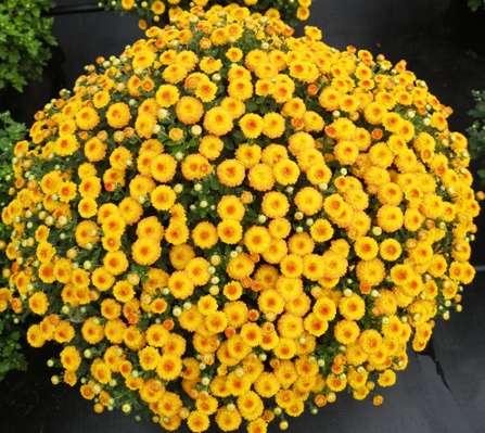 4个花园小菊新品系将首次亮相国庆花坛图片
