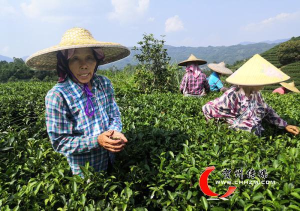 贺州昭平县:一小块茶 十万人富
