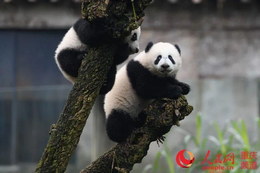 """可熊猫""""游""""是爱川对四客一游的旅。印象大邹乐 摄。"""