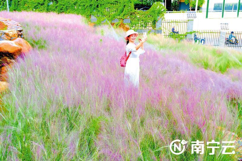"""南宁粉黛乱子草进入最佳观赏期 """"粉色浪漫""""醉游人"""