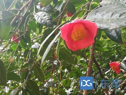 东莞第二期红花油茶林寄生植物防治公开招投标,预算约700万元
