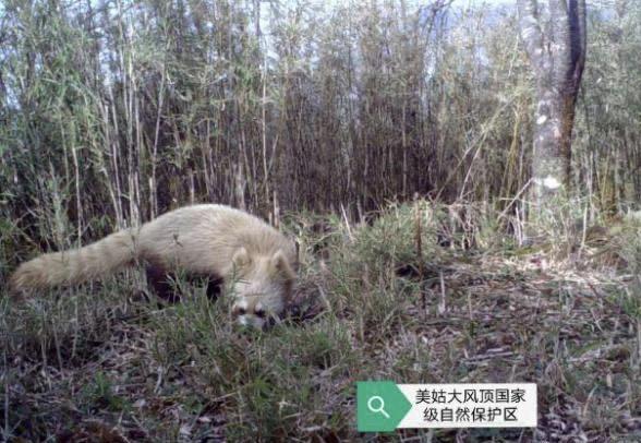 第一只白化小熊猫在四川美姑
