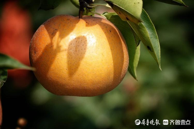 丰收了!章丘农家采摘园的水果熟了