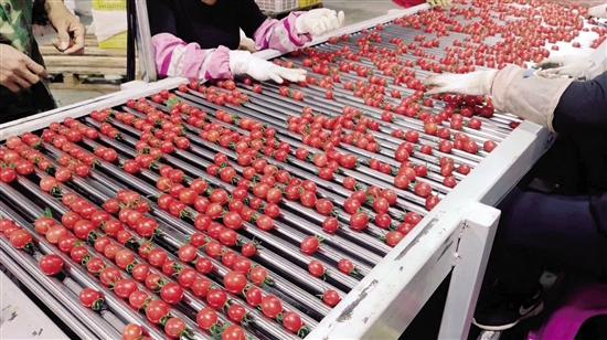 遂溪铭景农业销售的每一颗圣女果,都要经过选品生产线 (受访者供图)
