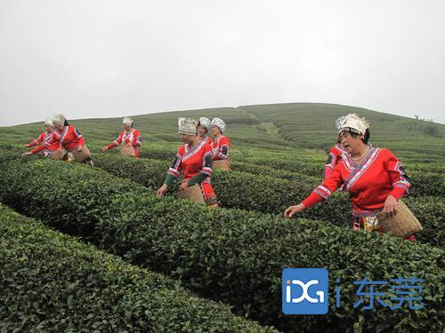 记者带你玩丨贵州出游记得安排去茶山,感受绿浪荡漾、茶园飞歌