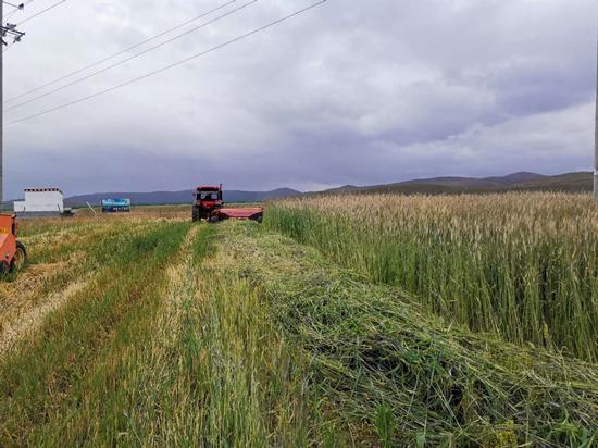 收割机收割饲草莳植基地的黑麦。人民网 吴兆飛摄