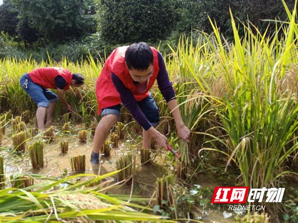 团县委组织团员青年志愿者助农抢收水稻