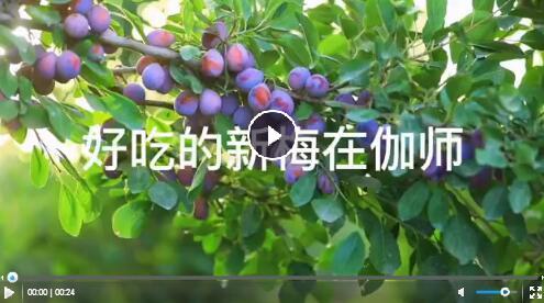 【行走脱贫攻坚52县】新疆伽师新梅你尝过吗?