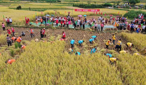割稻、挑担   永春桂洋开展趣味横生的农事运动会