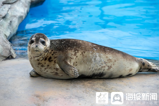 海洋科普丨肥壮浑圆的斑海豹