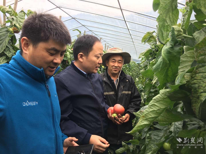 """湖北长阳高山蔬菜""""出威系列""""番茄亩产达到1.9万斤"""