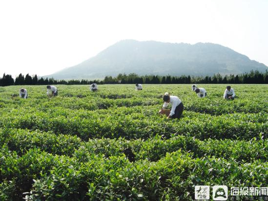 临沭春山茶场:千余亩茶园喜获丰收 扶贫助力乡村振兴正当时